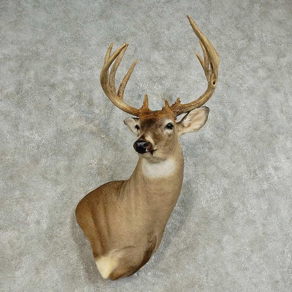 Whitetail Deer Shoulder Mount For Sale 15872 The