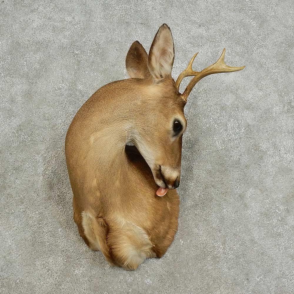 Whitetail Deer Shoulder Mount For Sale #15916