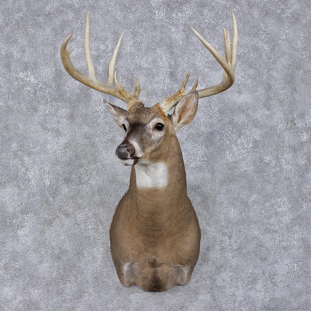 Whitetail Deer Mount For Sale 12492 The Taxidermy Store