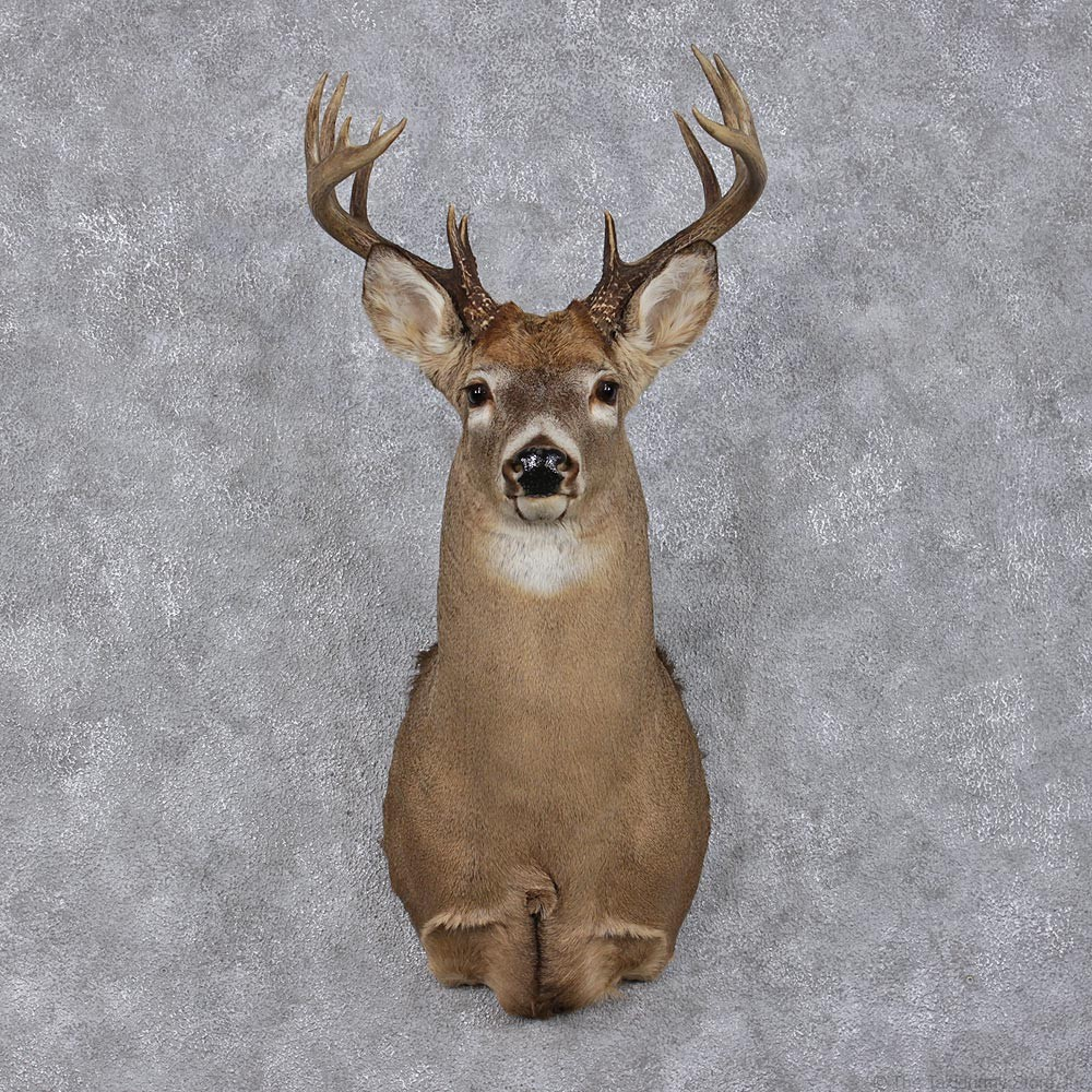 Whitetail Deer Mount For Sale 12496 The Taxidermy Store