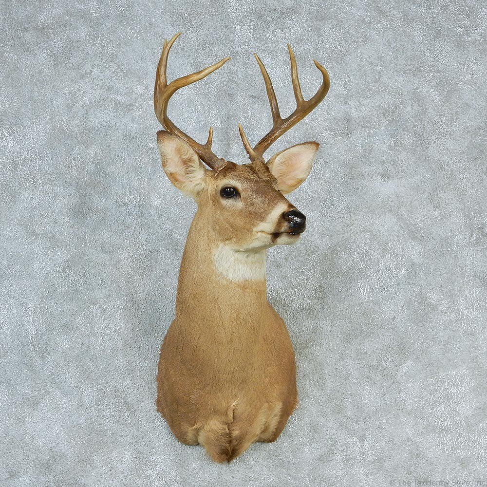 Whitetail Deer Mount For Sale 12752 The Taxidermy Store
