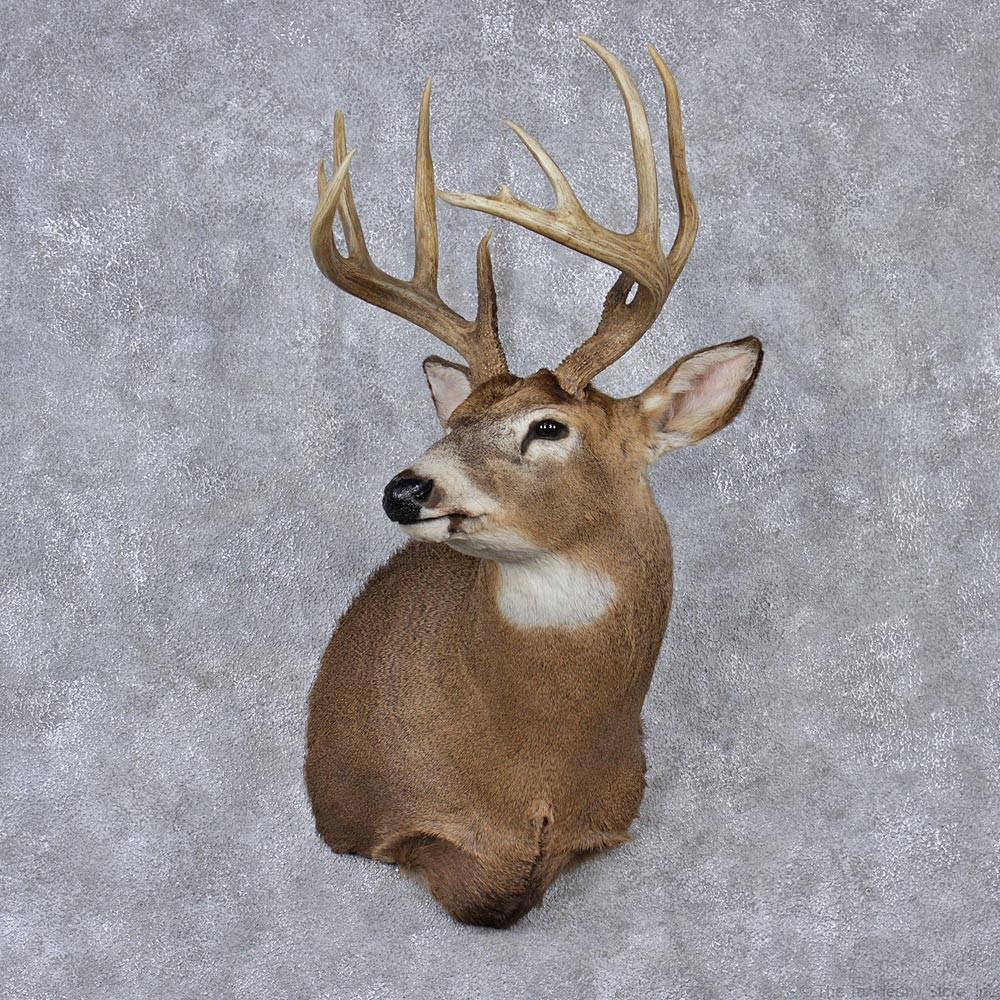 whitetail deer mount for sale 12523 the taxidermy store. Black Bedroom Furniture Sets. Home Design Ideas