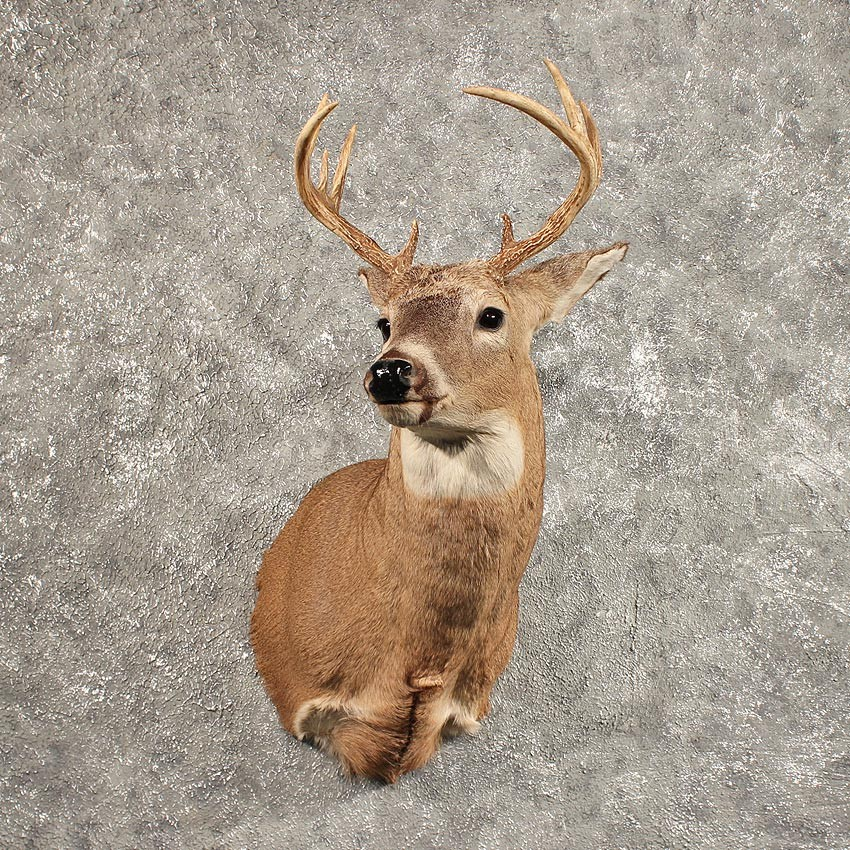 Whitetail Deer Shoulder Mount 11442 The Taxidermy Store