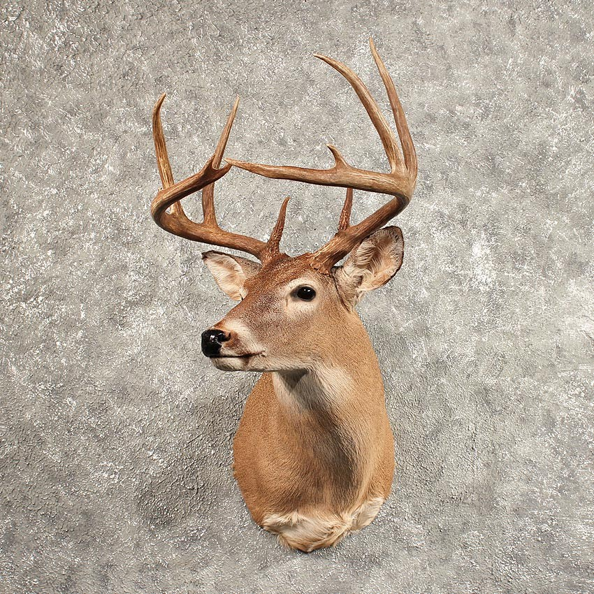Whitetail Deer Shoulder Mount 11444 The Taxidermy Store