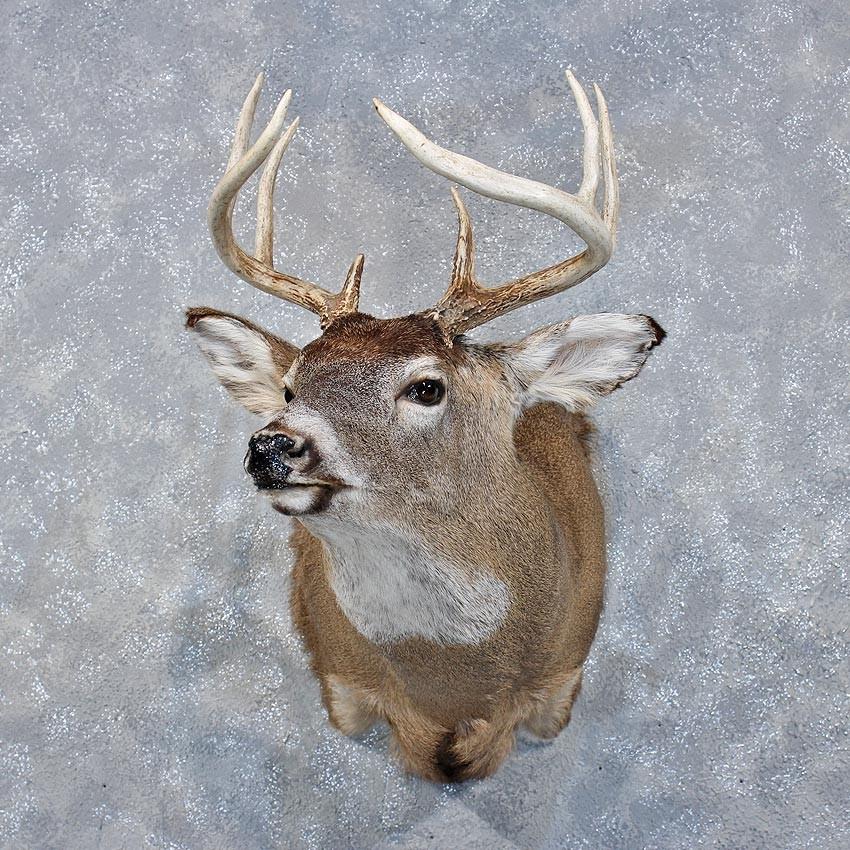 Taxidermy Deer Mounts Related Keywords Taxidermy Deer