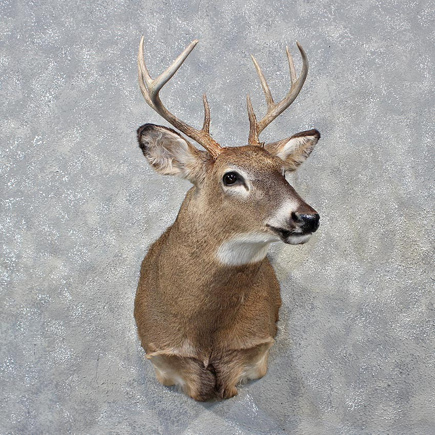 Whitetail Deer Mount For Sale 12148 The Taxidermy Store