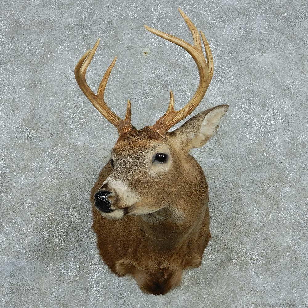 Whitetail Deer Shoulder Mount For Sale 13467 The