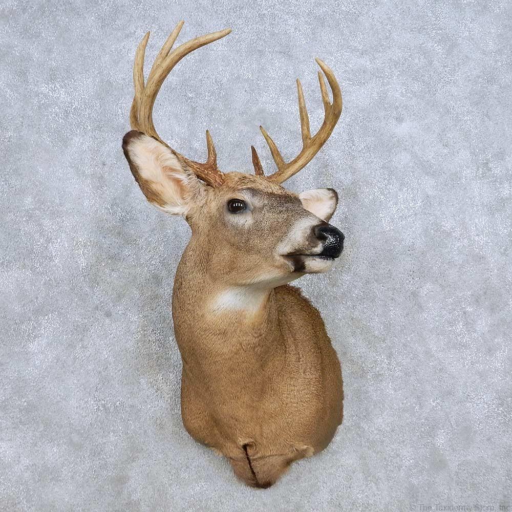 Whitetail Deer Shoulder Mount For Sale 14309 The
