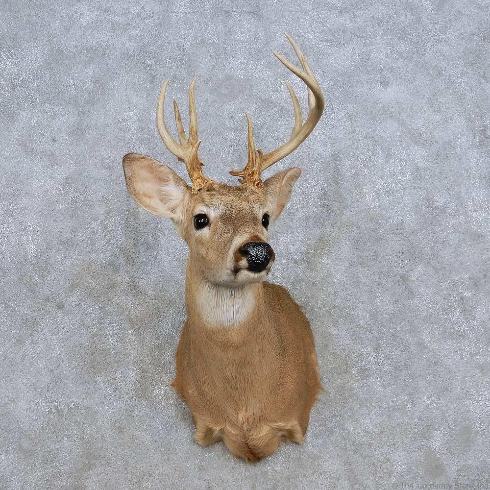 Whitetail Deer Shoulder Mount For Sale 14322 The