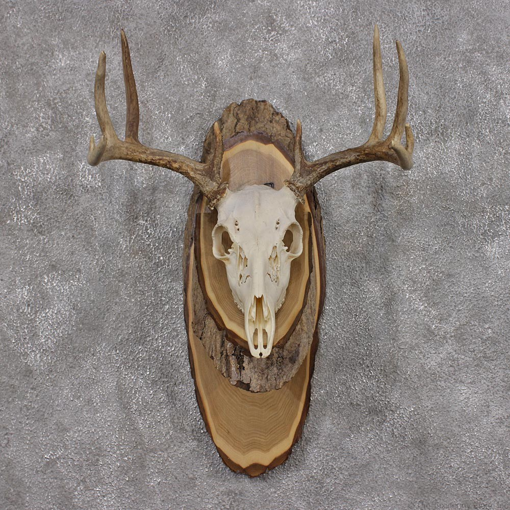 whitetail deer taxidermy skull antler plaque mount 12436 for sale