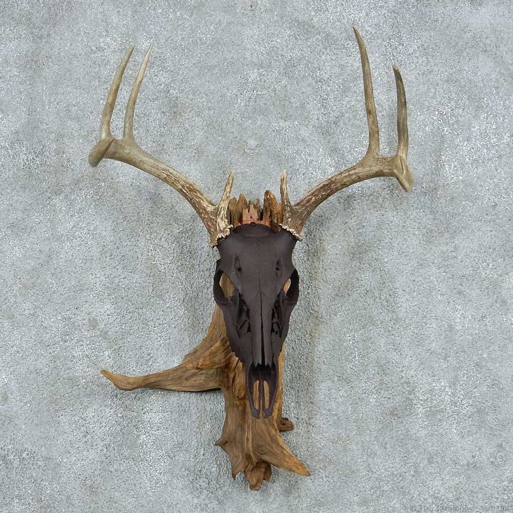 Whitetail deer skull amp antlers european mount for sale 13767 the