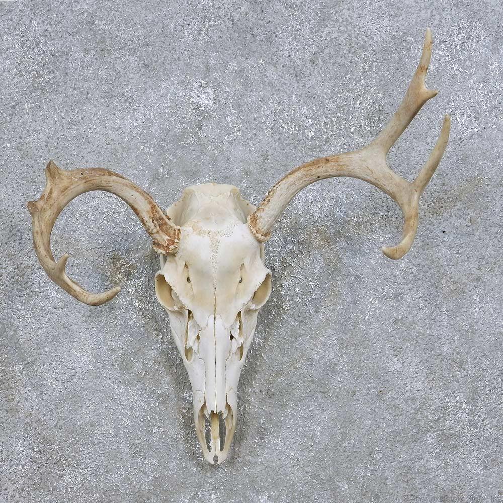Whitetail deer skull amp antlers european mount for sale 14065 the