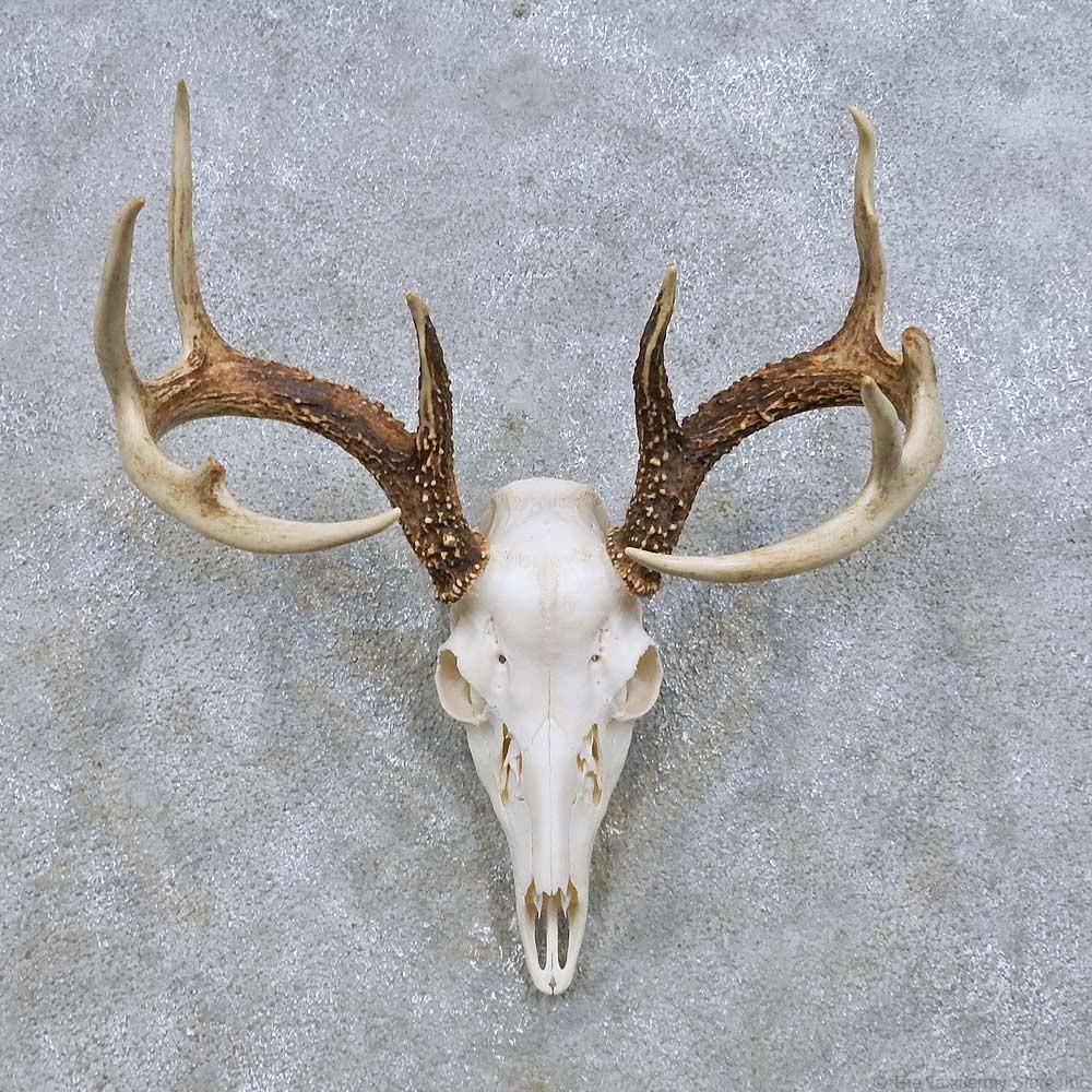 Whitetail deer skull mount