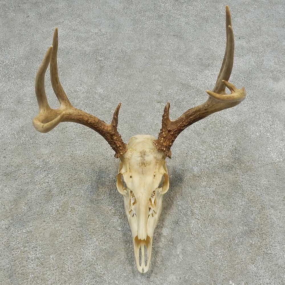 Whitetail Deer Skull European Mount For Sale #16633