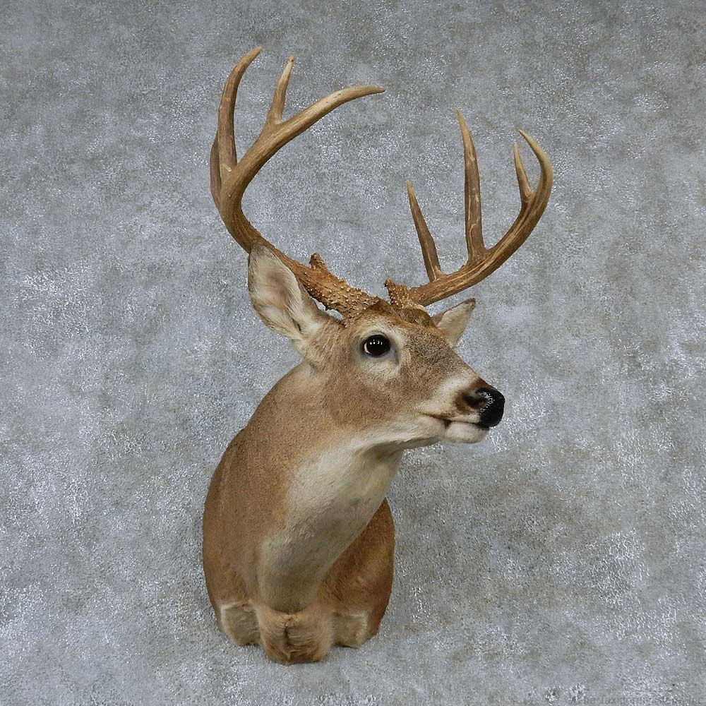 Whitetail Deer Mount For Sale 13163 The Taxidermy Store