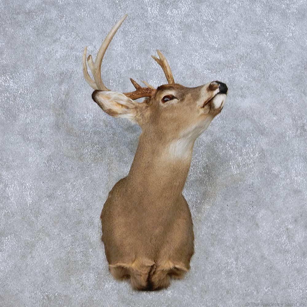 Whitetail Deer Shoulder Mount For Sale 14084 The