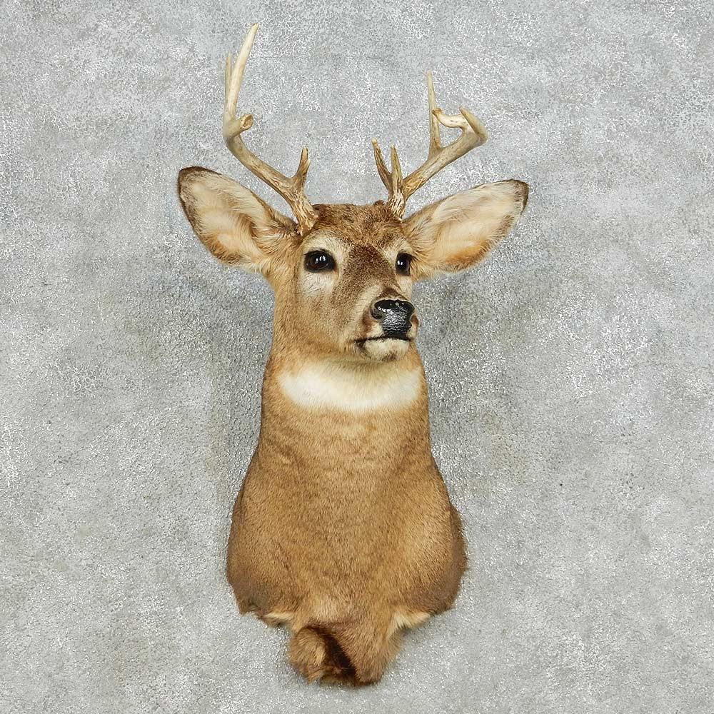 Whitetail Deer Shoulder Mount For Sale 14108 The