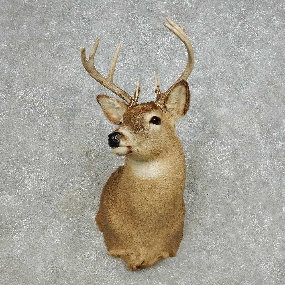 Whitetail Deer Shoulder Mount For Sale 14112 The