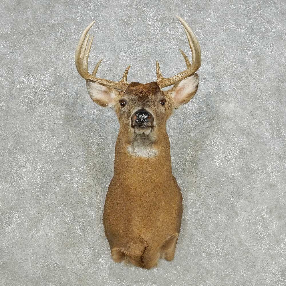 Whitetail Deer Shoulder Mount For Sale 14118 The