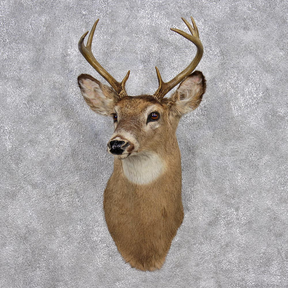 Whitetail Deer Shoulder Mount 12377 The Taxidermy Store