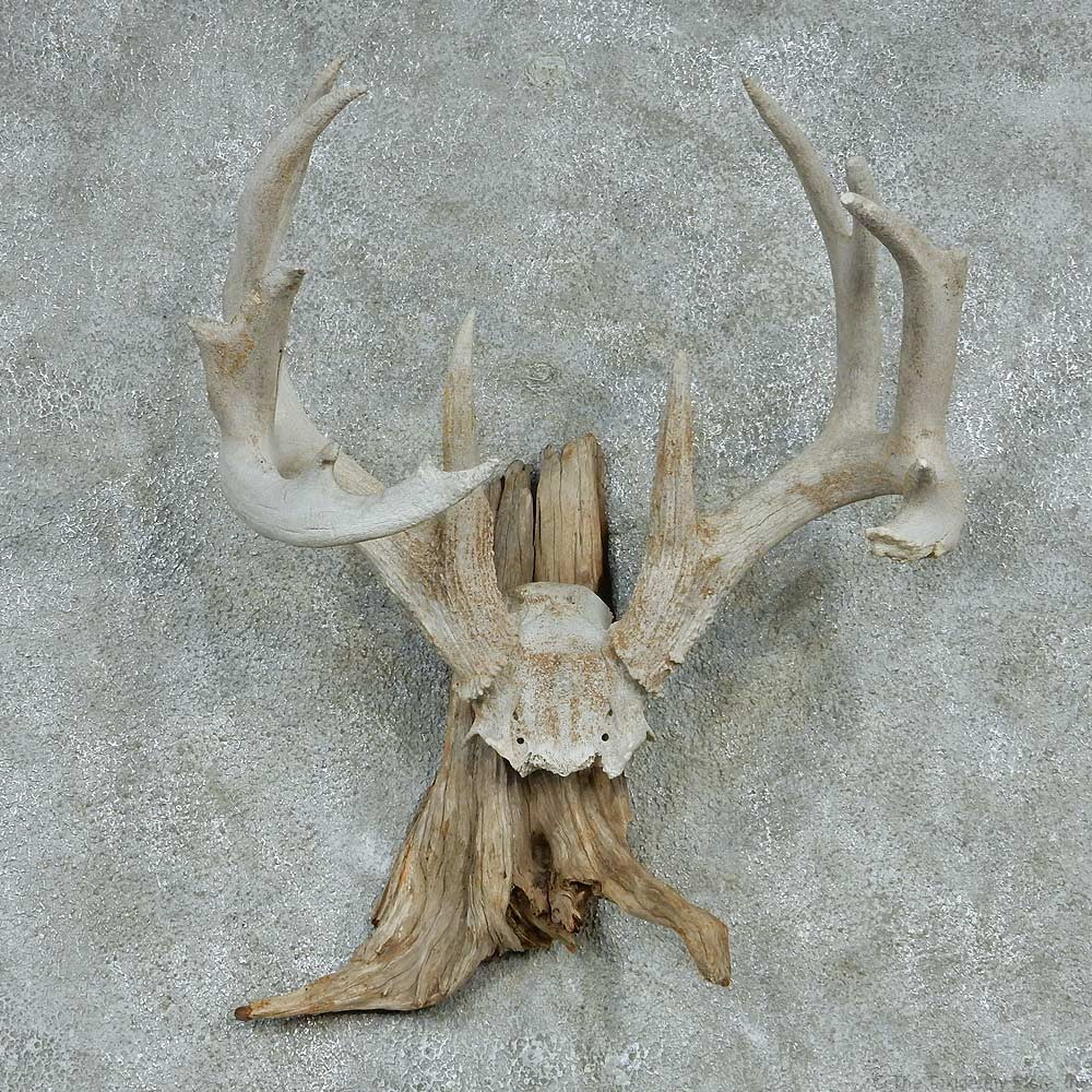 Whitetail Skull Cap & Antlers For Sale #13254 - The ...