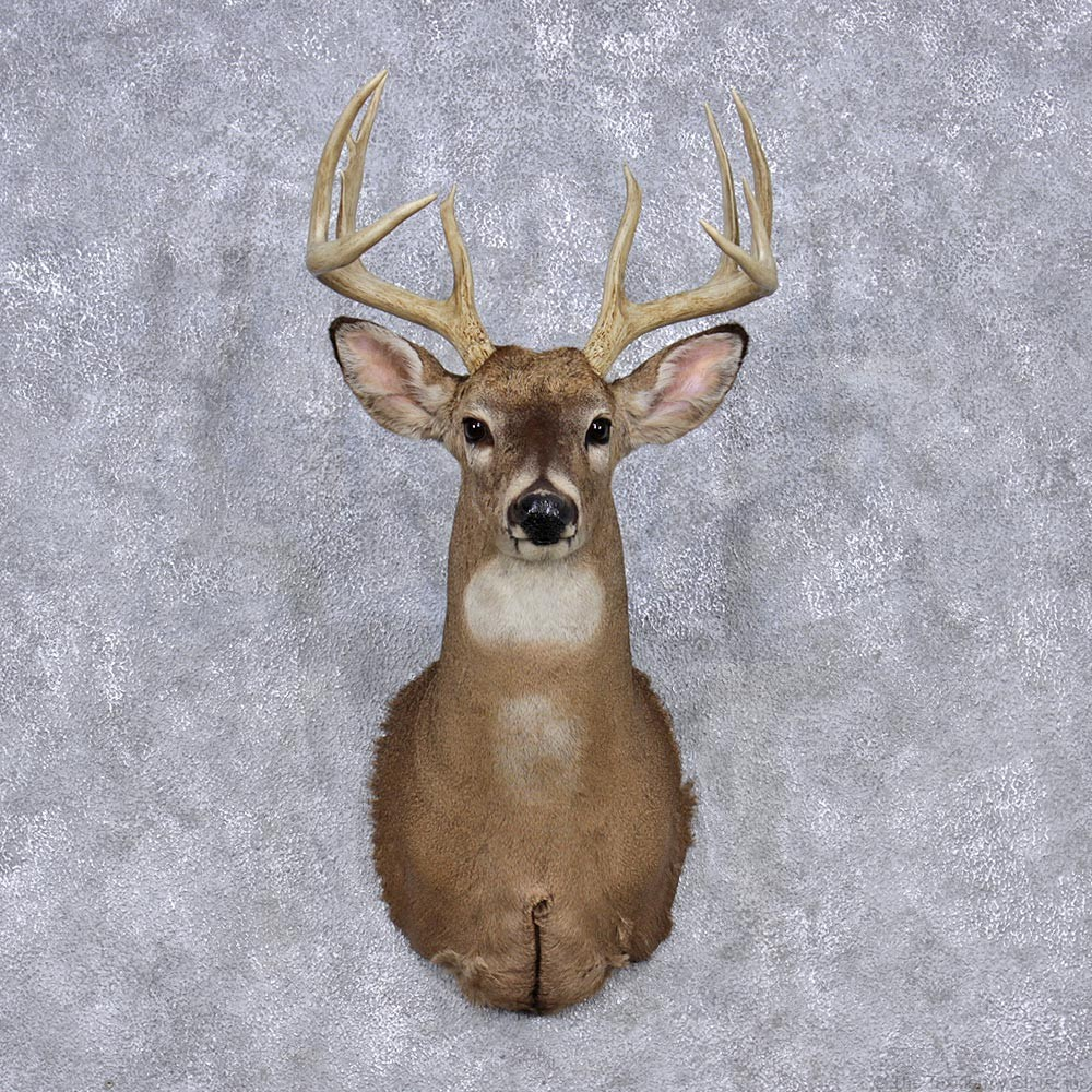 Whitetail Deer Shoulder Mount 12345 The Taxidermy Store