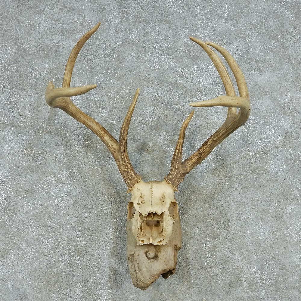 Whitetail deer skull amp antlers european mount for sale 13575 the
