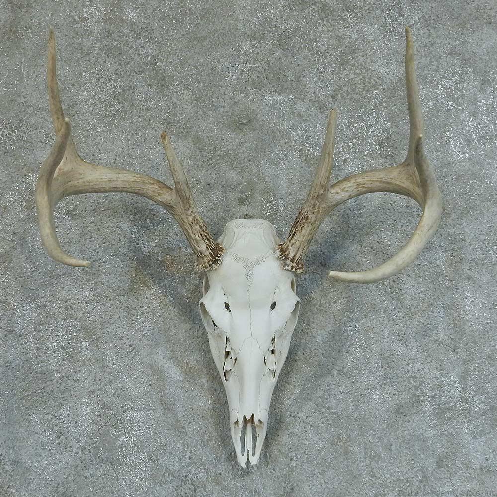 Horns antlers skulls 187 whitetail deer skull amp antler european mount