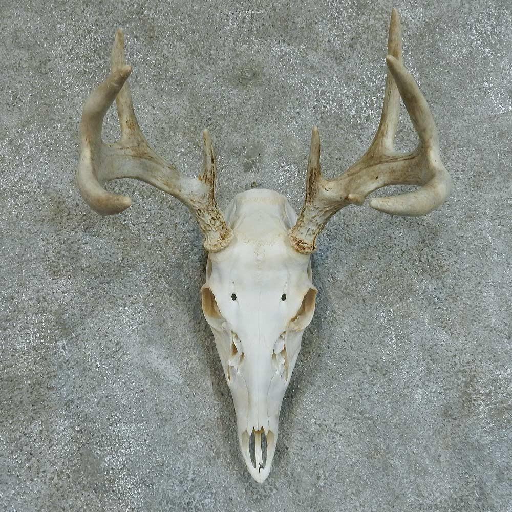 Whitetail deer skull amp antlers european taxidermy mount 13361 for