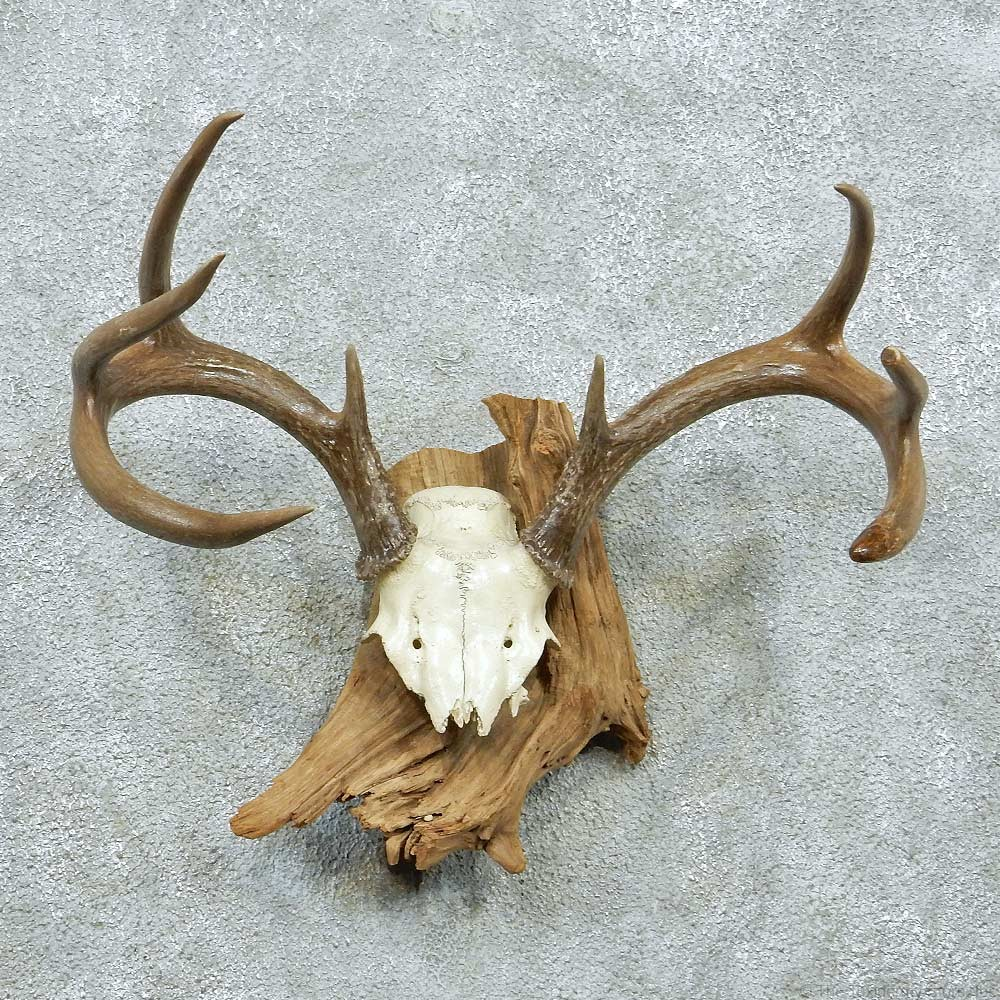 Whitetail Skull Cap & Antlers For Sale #13263 - The ...