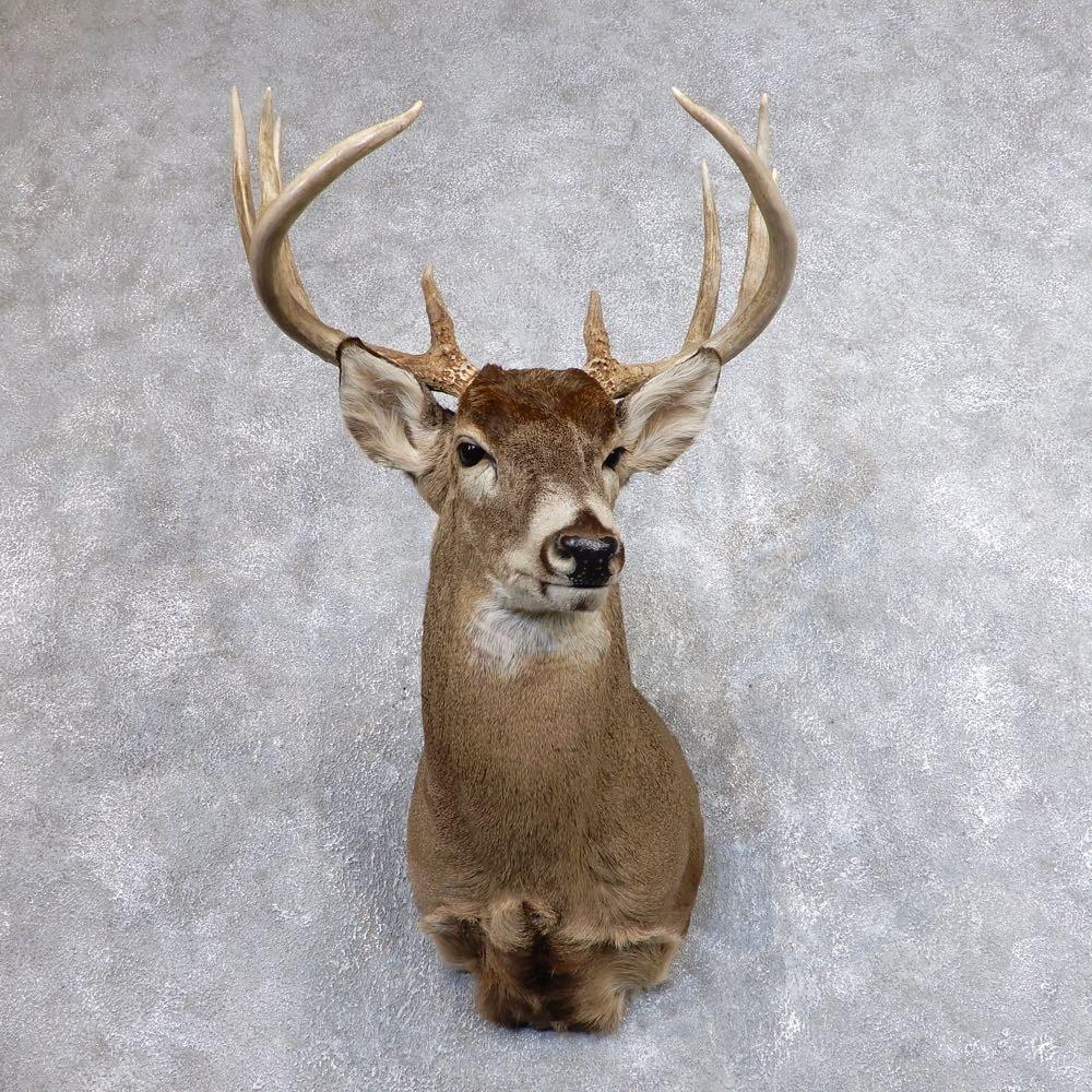 Whitetail Deer Shoulder Mount For Sale #18625