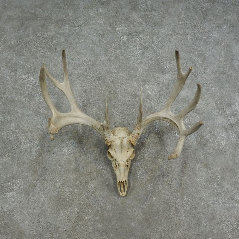 White Tailed Deer Skull