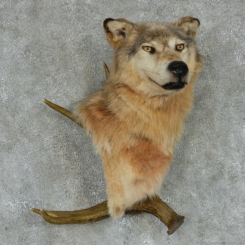 Gray Wolf Moose Antler Taxidermy Mount 13130 The