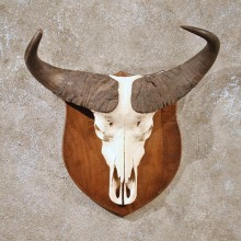 African Cape Buffalo Skull #10006 - The Taxidermy Store
