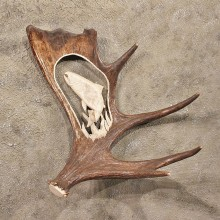 Trout Carving on Moose Horn