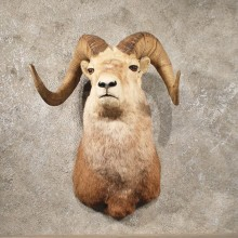 Stone Sheep Shoulder Mount #10253 - The Taxidermy Store