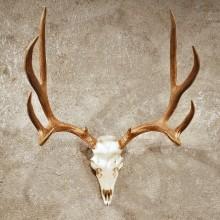 Mule Deer Antler Mount #10398 - The Taxidermy Store