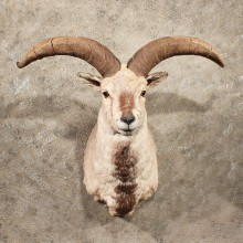 Himalayan Bharal Sheep Taxidermy Shoulder Mount For Sale
