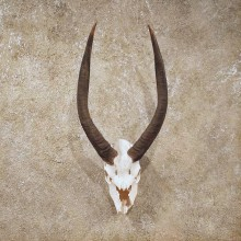 African Nyala European Skull #10520 - The Taxidermy Store