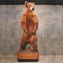 Brown Bear Life-Size Mount For Sale #10615 @ The Taxidermy Store