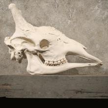 African Giraffe Skull