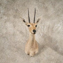 #10641 African Vaal Rhebok Shoulder Taxidermy Head Mount For Sale
