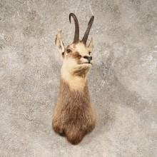 Balkan Chamois Shoulder Mount #10707 - The Taxidermy Store