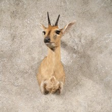 Grey Duiker Taxidermy Shoulder Mount For Sale