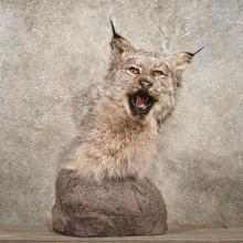 Pedestal Alaskan Lynx Mount #10752 - The Taxidermy Store