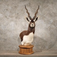 India Blackbuck Shoulder Mount #10780 - The Taxidermy Store