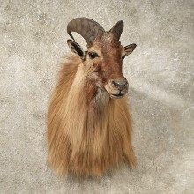 Himalayan Tahr Taxidermy Shoulder Mount For Sale