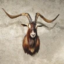 Hybrid Ibex