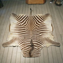 Zebra Rug Mount #10957 - The Taxidermy Store