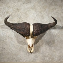African Cape Buffalo Skull #10968 - The Taxidermy Store